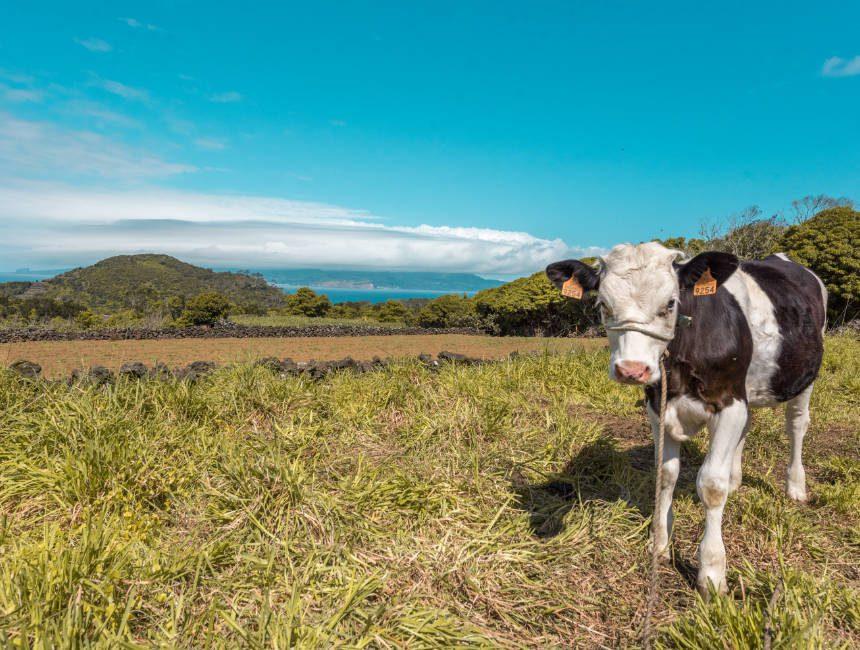 Azoren Kühen