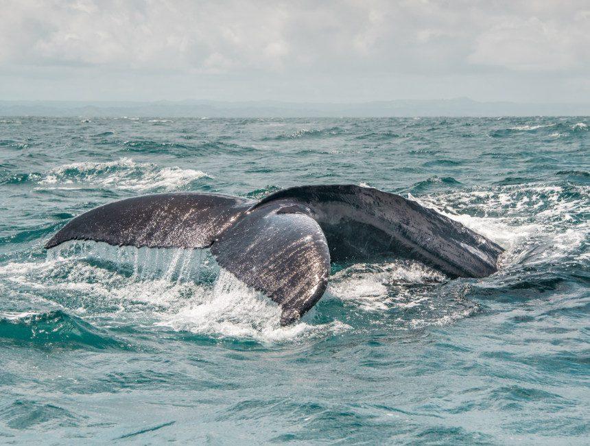 buckelwale Dominikanischen Republik