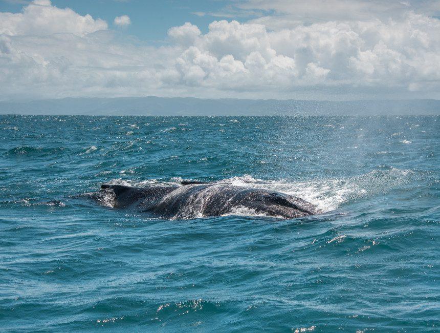 silver banks Dominikanische Republik Wale