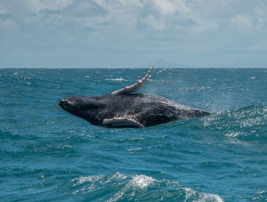 Springende Wale Dominikanische Republik