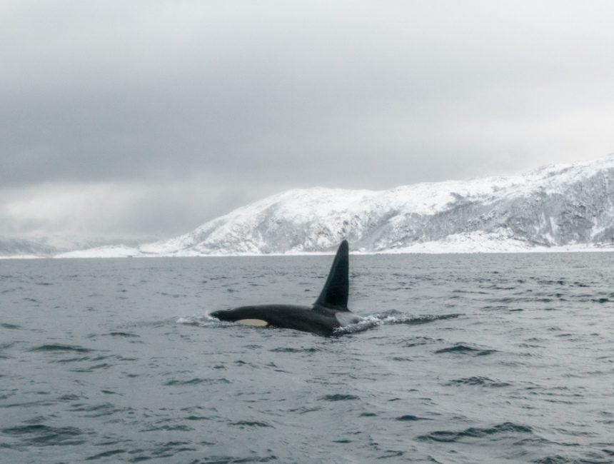 Walbeobachtung Tromsø Ausflüge