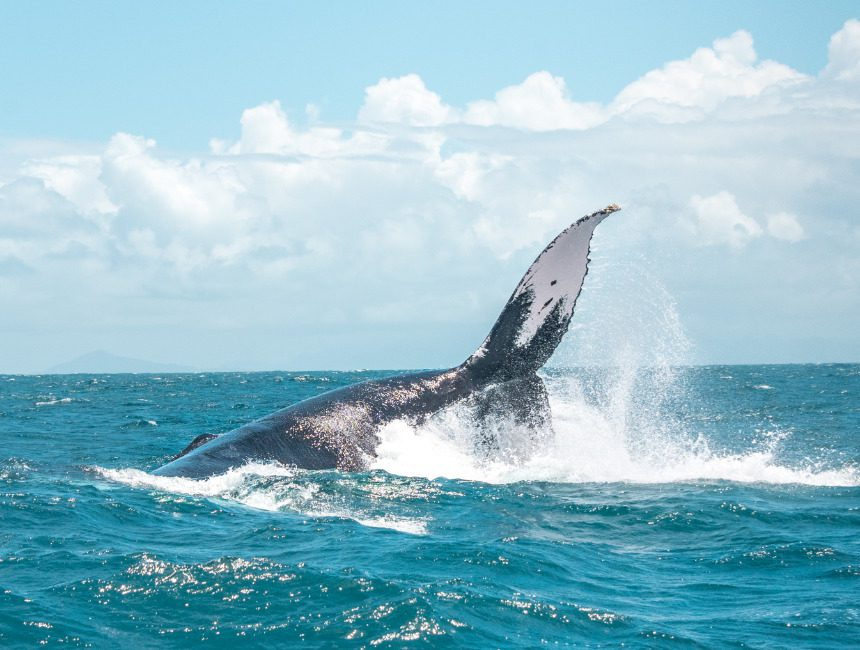 buckelwale Samana Dominikanische Republik