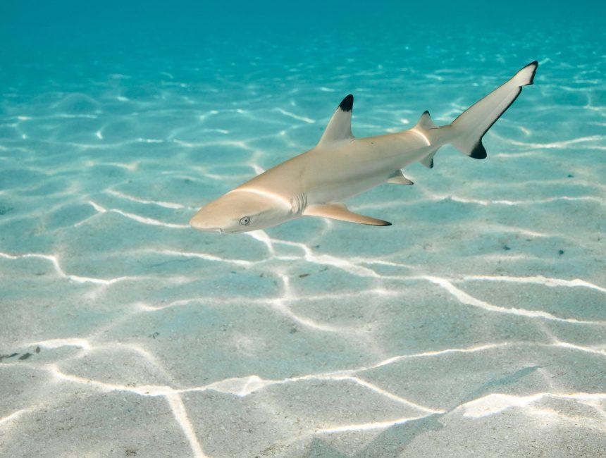 Tauchen Dominikanische Republik Hai