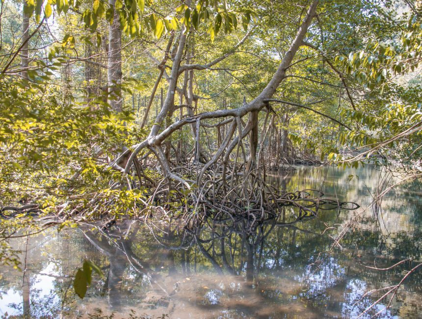 Los Haitises Mangrovensümpfe