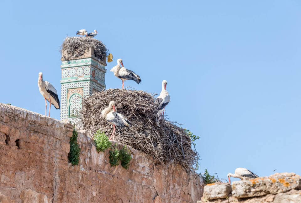 Storks in Chellah Rabat Morocco