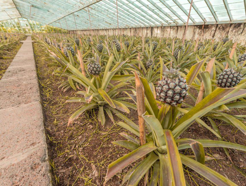 Ananasplantage Sao Miguel Sehenswürdigkeiten Azoren