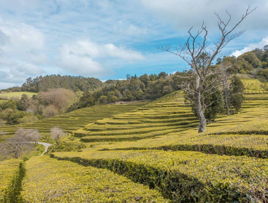 Gorreana Teeplantagen Azoren Sao Miguel Ausflüge