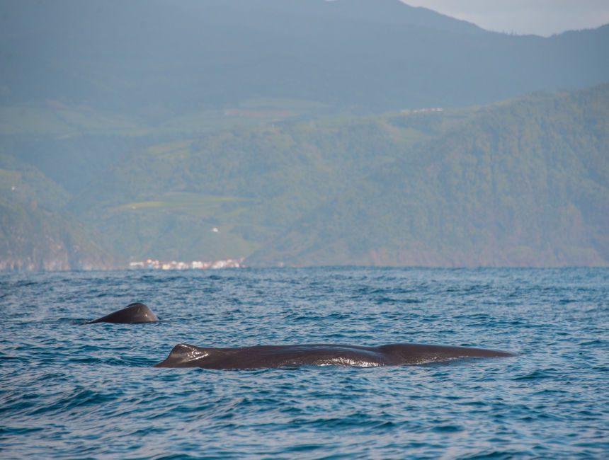 Walbeobachtung Azoren Terceira